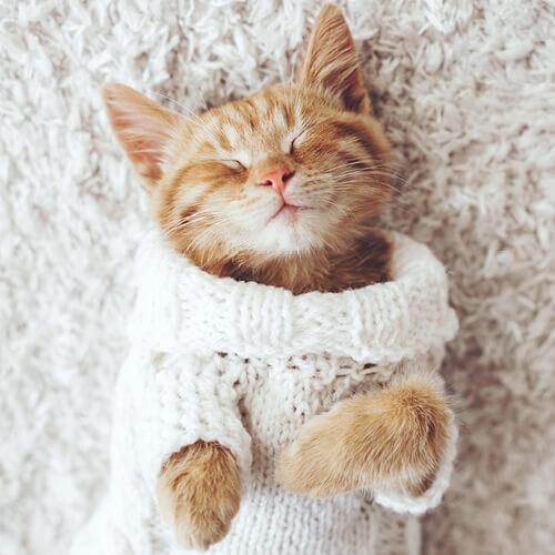 Cat on rug | Everlast Floors
